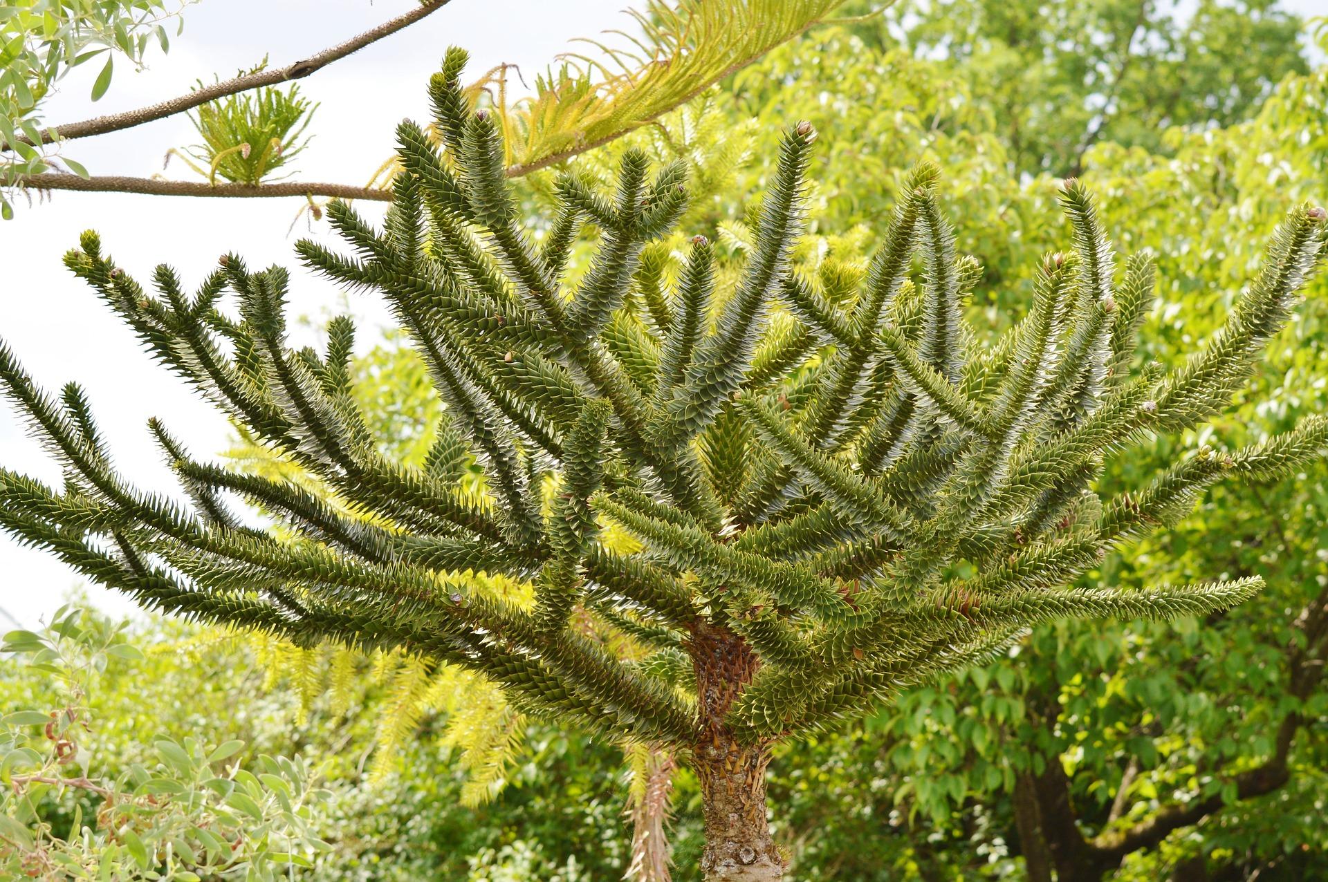 La Araucaria o Pehuén es una especie arbórea perteneciente al género de coníferas. Es endémica del distrito del Pehuén de los bosques subantárticos, en el extremo noroeste de la Patagonia argentina y en el centro-sur de Chile, por toda la Región de la Araucanía, el sur del Biobío y el norte de Los Ríos. Es el árbol nacional chileno.