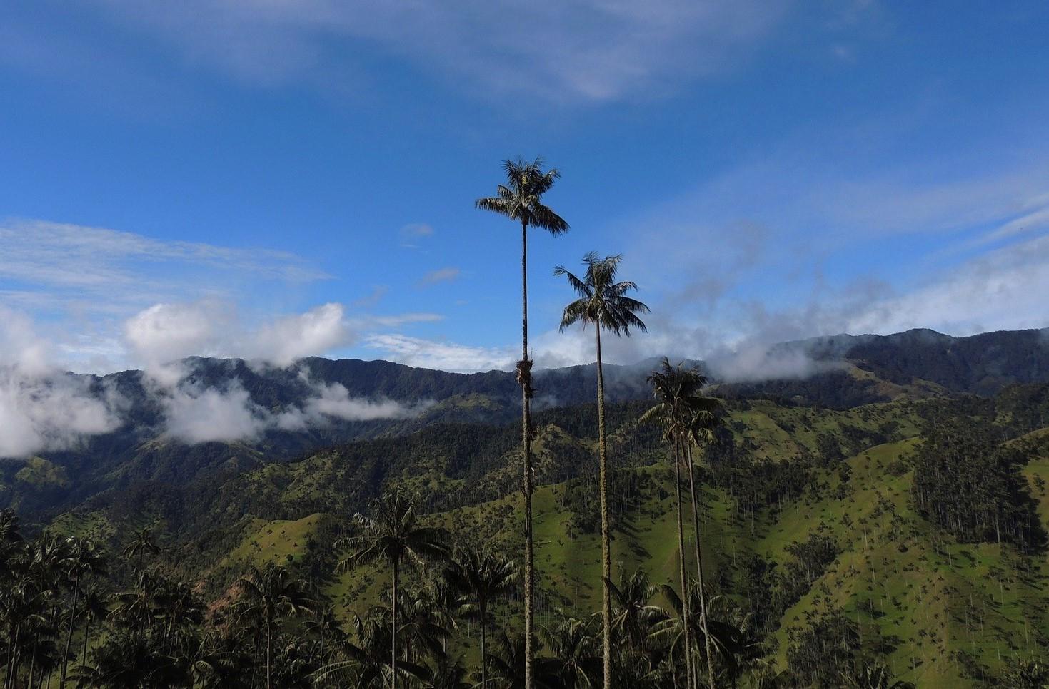 La Palma de Cera del Quindío es una palma nativa de los valles altos andinos del Parque Nacional Natural Los Nevados, en los departamentos de Quindío, Risaralda y Tolima, al noroccidente de Colombia. Crece hasta 60 metros de altura y es la más grande monocotiledónea del mundo. Fue estudiada por el naturalista Alexander Von Humboldt en 1801 y fue adoptada oficialmente como árbol nacional por la Ley 61 del 16 de septiembre de 1985.