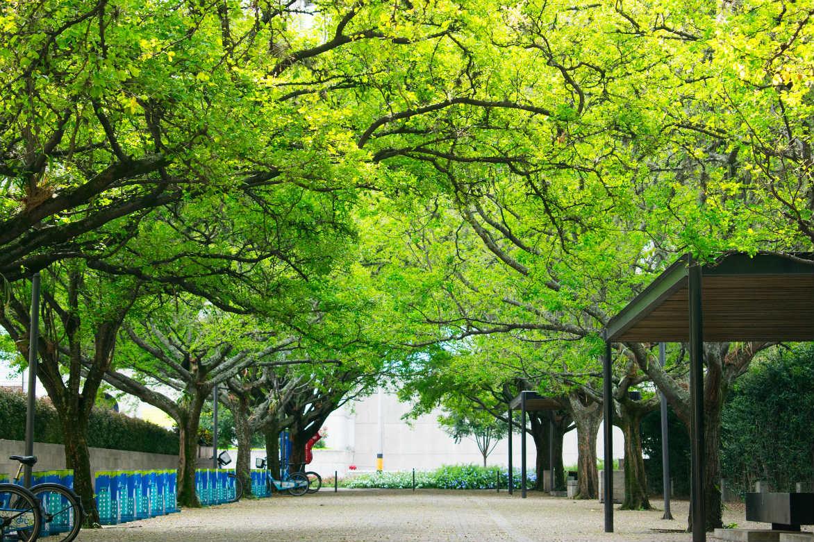 La historia de cómo las ciudades importaron árboles y qué puede aprenderse hoy de ello