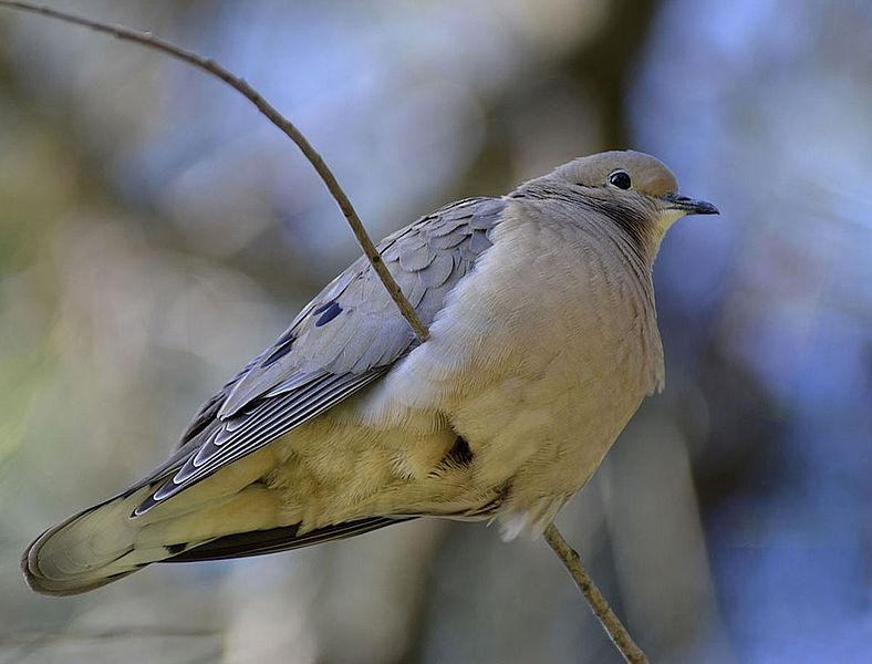 Aves urbanas tienden a ser las mismas en distintas ciudades